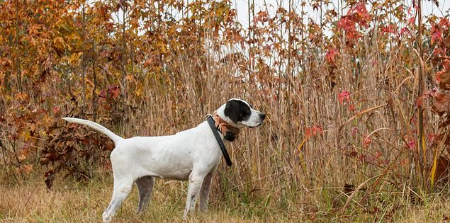 English pointer hunting in a South Carolina field