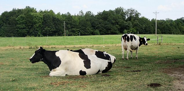 Cows grazing at South Carolina's Happy Cow Creamery