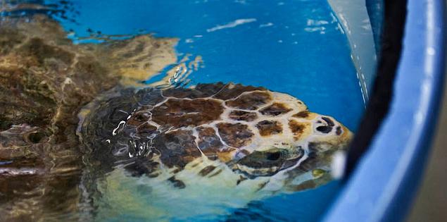 Loggerhead sea turtle at South Carolina Aquarium in Charleston