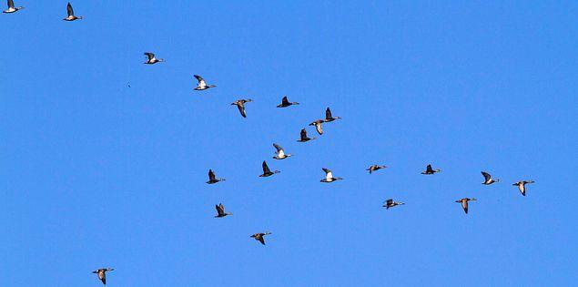 Gadwall flying over South Carolina's Ernest F. Hollings Ace Basin National Wildlife Refuge