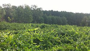 Williams Muscadine Vineyard and Farm