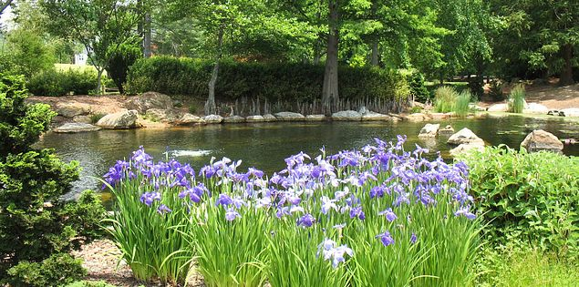 Irises at Furman University's Asia Garden