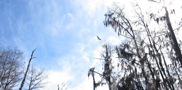 Sparkleberry Swamp feeding into Lake Marion in South Carolina