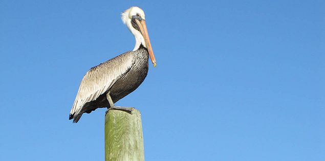 View of a brown pelican from Shem Creek