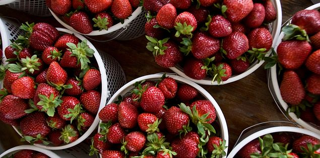 Gilbert Sease Farms Strawberries