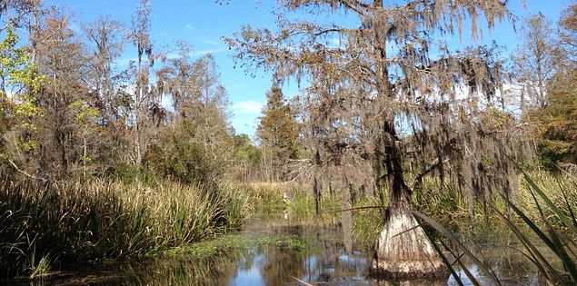 Cypress trees in Biggin Creek