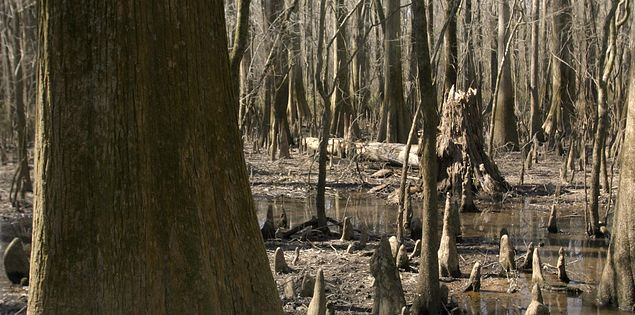 South Carolina swamps in Congaree National Park