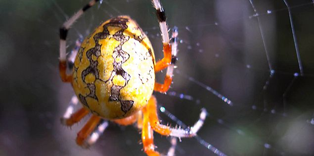 Orb weaver on its web on a tree in South Carolina's Congaree National Park