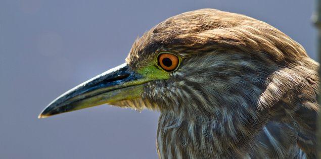 Juvenile Black-crowned night heron in South Carolina's ACE Basin