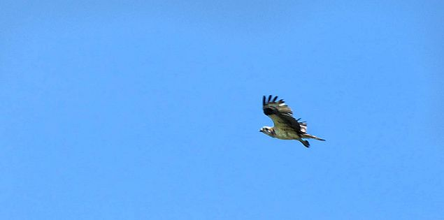 Osprey in the sky in South Carolina's Caesars Head State Park