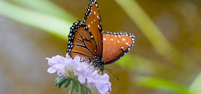 Monarch butterfly in the Lowcountry islands of South Carolina