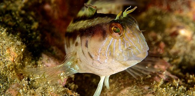 Blenny in South Carolina waters with Charleston Scuba