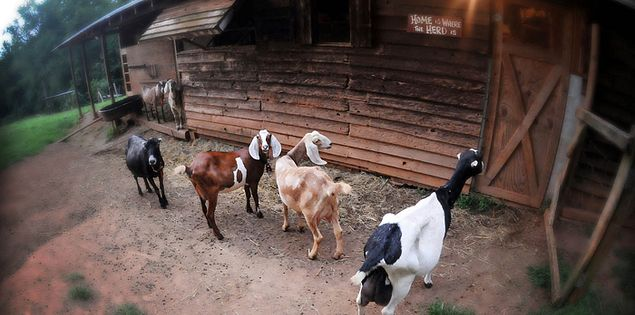 Goats at the Palacinos farm in Upstate South Carolina