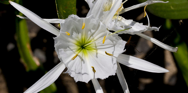 Rocky Shoals Spider Lily at Landsford Canal State Park