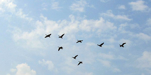 Geese flying over Lake Thurmond in South Carolina