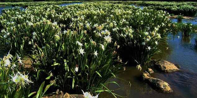 rocky shoals spider lilies flowers