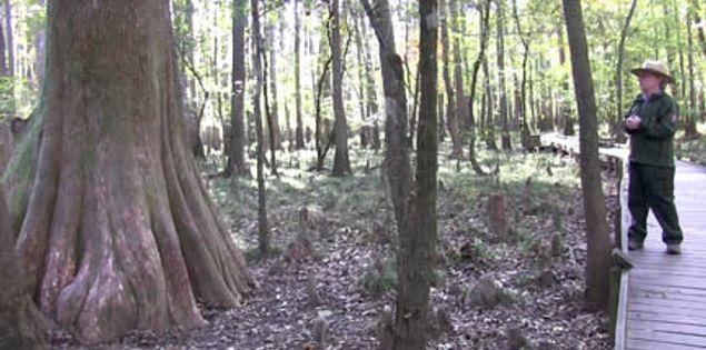 Cypress trees along Congaree National Park's Boardwalk Loop