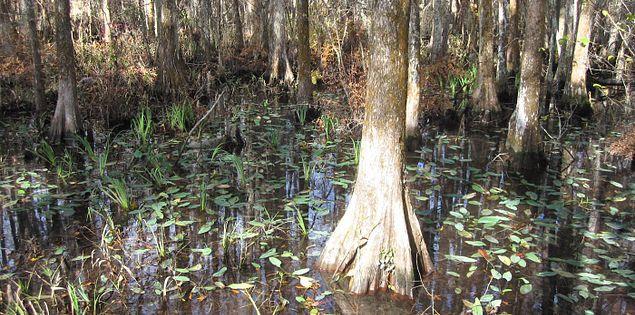Swamp habitats in South Carolina's Savannah National Wildlife Refuge