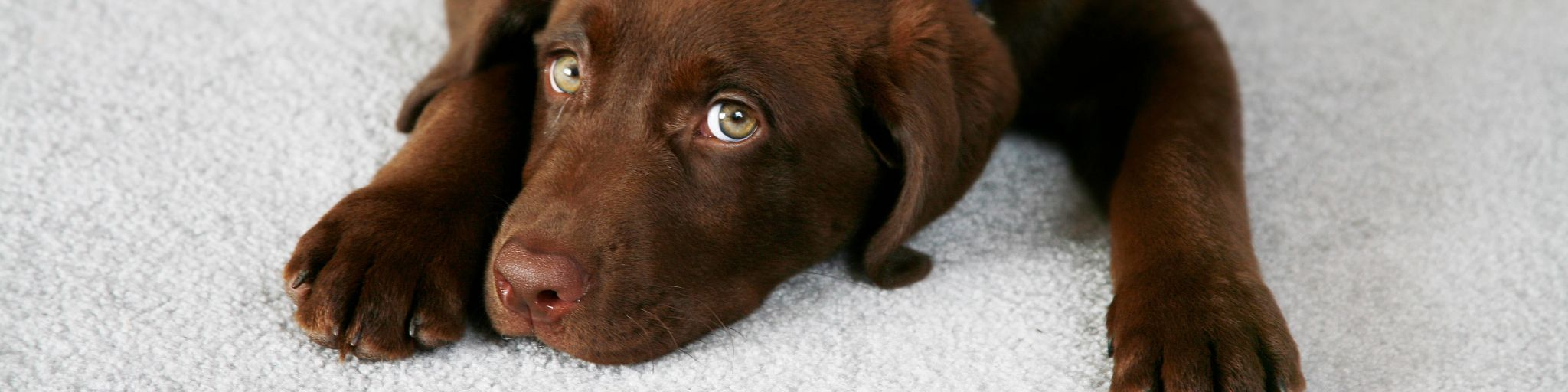 Chocolate Dog Relaxed On Carpet