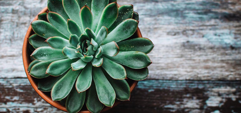 Succulents do best in full sunlight