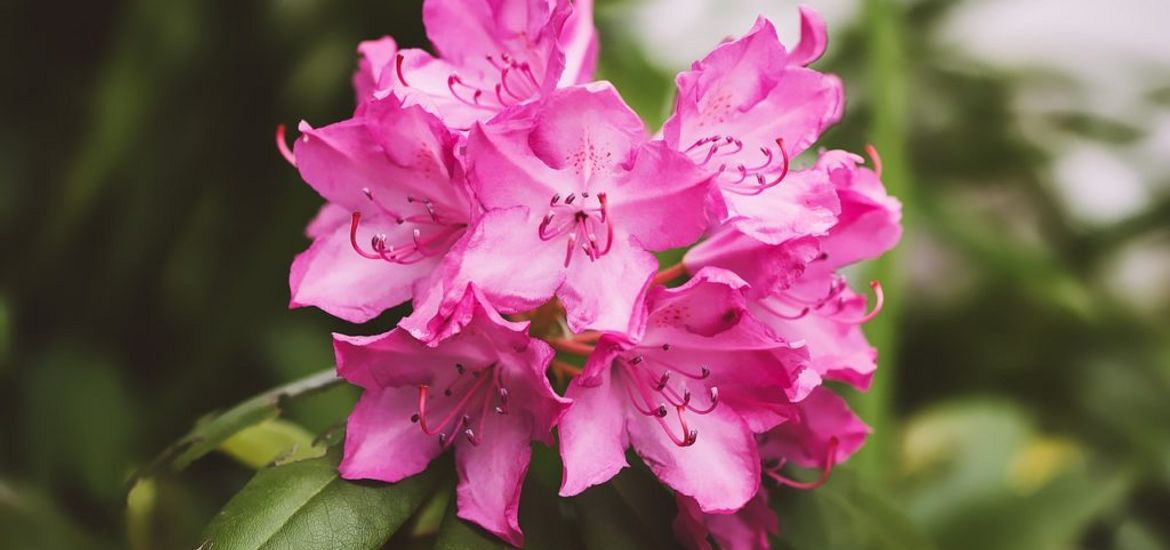 Rhododendron Spring Flowers