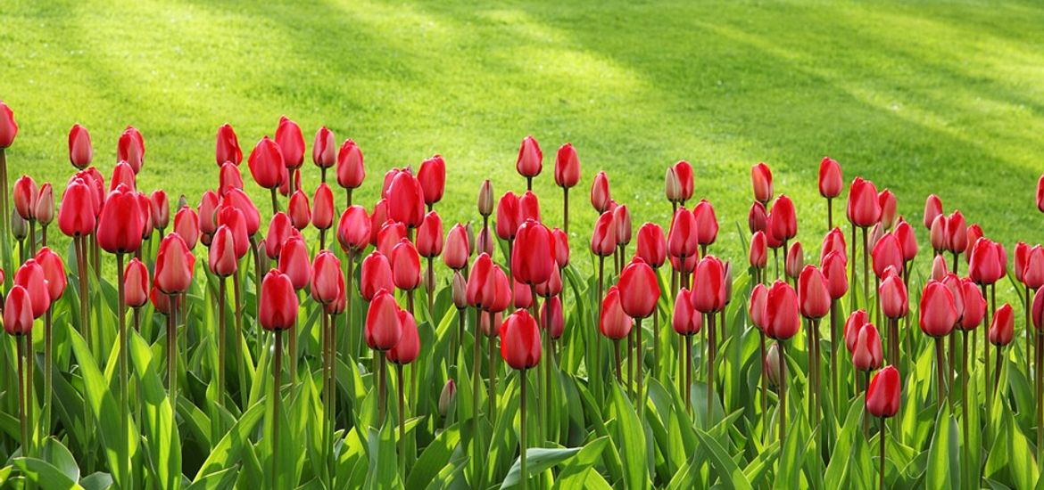 Tulips Spring Flowers