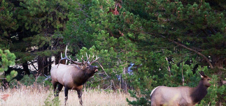 Colorado Fall Elk Bugling