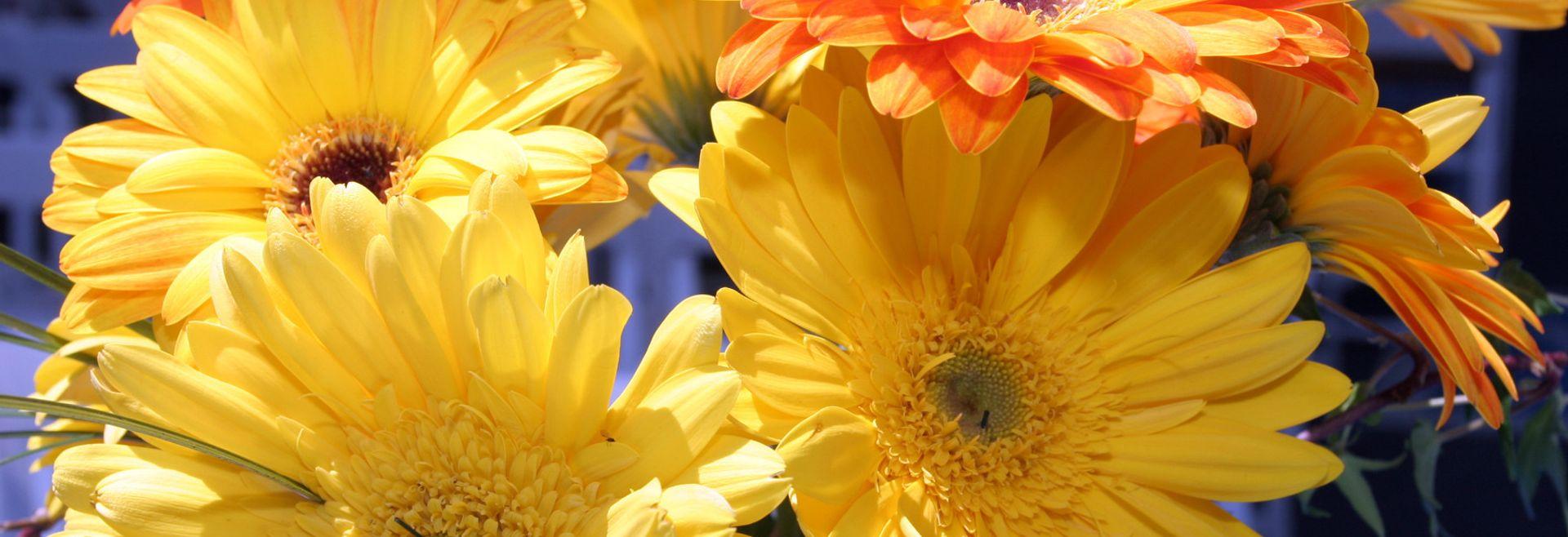 Yellow and Orange Gerber Daisies