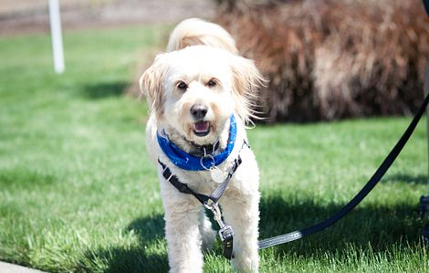 Wheaton Terrier dog having fun at Petstock event