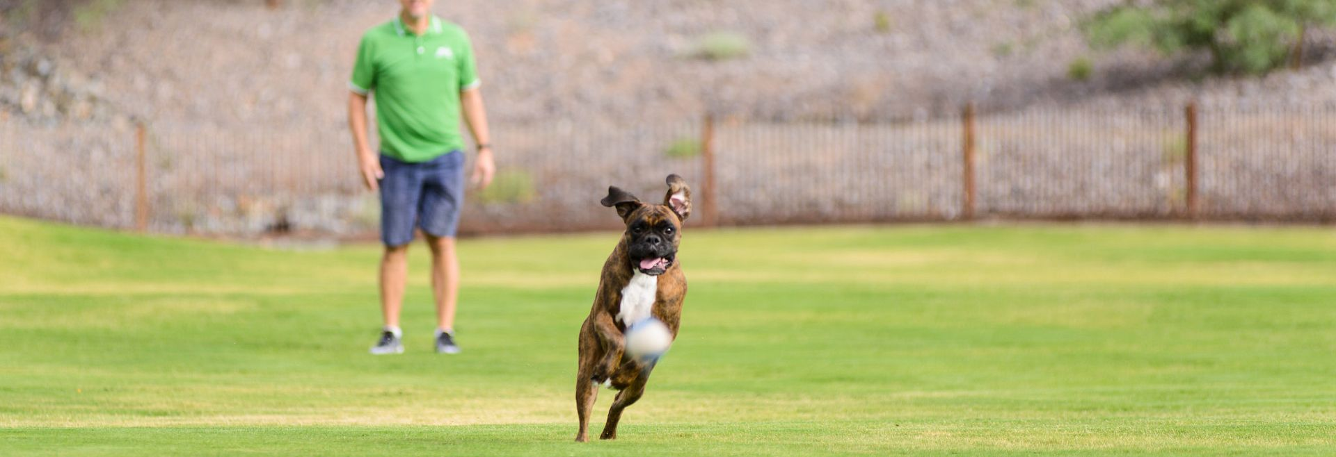 Boxer running after a ball that was thrown