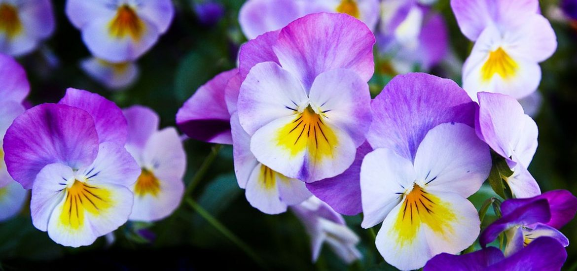 Pansy Spring Flowers
