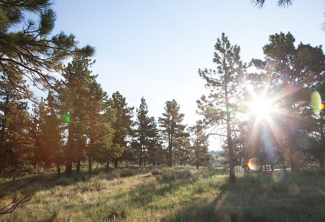 Whispering Pines Ponderosa Pines