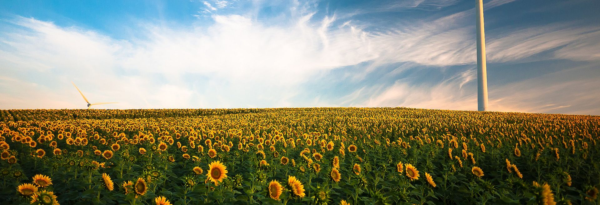 Sunflower field with wind mill