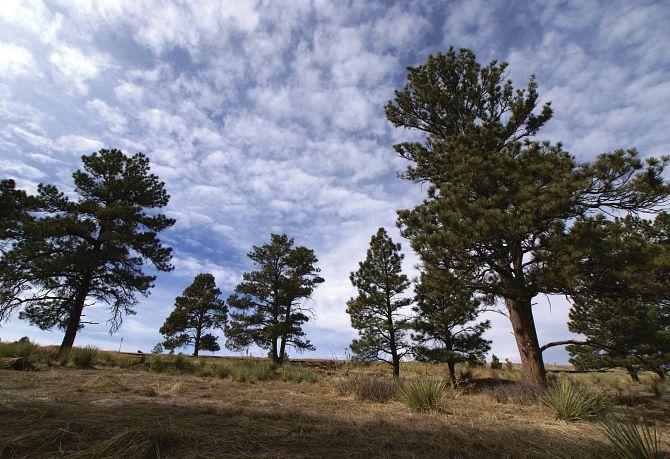 Whispering Pines Community Ponderosa Pines