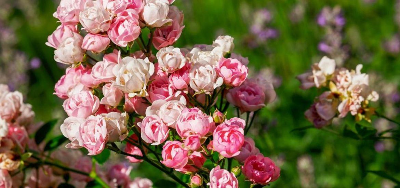 Rose Spring Flowers