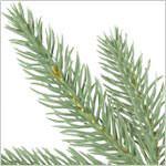 Stratford Spruce Tree PDP Foliage