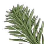 Nantucket Blue Spruce PDP Foliage
