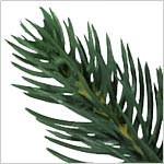 Colorado Mountain Spruce  Potted PDP Foliage