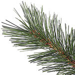 Scotch Hill Pine PDP Foliage