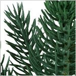 Durango Douglas Fir  PDP Foliage