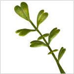 Battery-Operated Boxwood Double  PDP Foliage