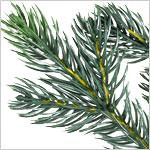 Norway Spruce Wreath PDP Foliage