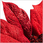 Outdoor LED Poinsettia Topiary PDP Foliage