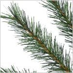 Rocky Mountain Pine Tree PDP Foliage