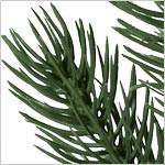 Vermont White Spruce  Tree PDP Foliage