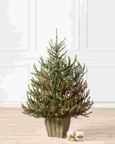 Potted Christmas Trees For Sale: Potted Baby Spruce By Balsam Hill