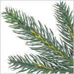 Poconos Pine Mini Tree PDP Foliage