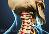 Posterior view of structural Anatomy of the neck with spinal cord highlighted