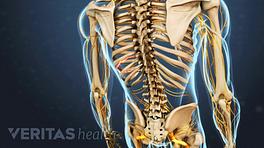 Medical illustration of a skeleton
