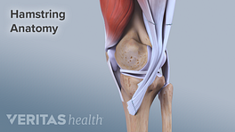 Hamstring anatomy attaching to the knee